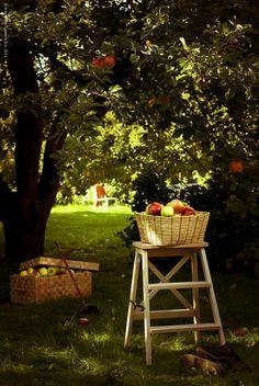 . apple trees, fruit picking, backyard orchard, appl tree, apples, appl orchard, beauti thing, garden, appl pick