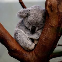 Koala nap-time