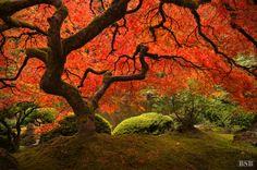 Fall meets the Portland Japanese Garden magic tree, portland japanes, beauti natur, autumn, fall, japanes garden, trees, japanese gardens, photographi