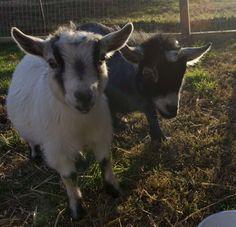 farm, babi anim, anim photo, critter, pygmi goat