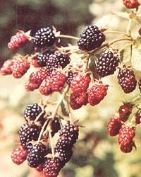 Growing Berries In Your Back Yard