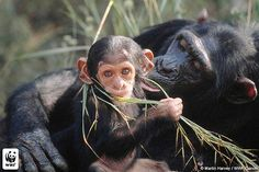 Chimpanzee Mother and Baby
