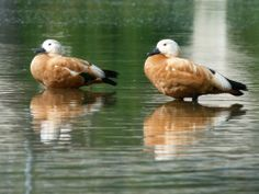 The Ruddy Shelduck (Tadorna ferruginea) is mostly migratory, wintering in the Indian Subcontinent. This is a bird of open country, and it will breed on cliffs, in burrows, tree holes or crevices distant from water, laying 6-16 creamy-white eggs, incubated for 30 days. The Ruddy Shelduck is usually found in pairs or small groups and rarely forms large flocks. However, moulting and wintering gatherings on chosen lakes or slow rivers can be very large.