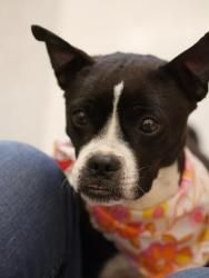 Aunt Tootie is an adoptable Boston Terrier Dog in Fairfax, VA. Tootie is the perfect dog for someone looking for ONE  perfect dog . She's about 5 years old-- fun-loving and energetic, but past puppy c...