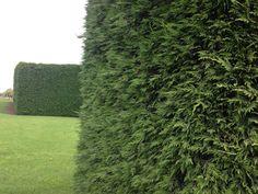 Leighton-Cypress-Foliage