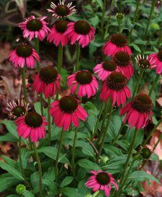~ Echinacea 'Raspberry Tart.... Beautiful! Zones 3-8