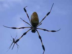 Beneficial spiders in the landscape: #49 Banana Spider (Nephila clavipes) I ❤ these spiders!