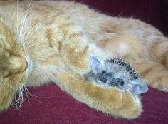Purrfect substitute: One of the tiny baby hedgehogs snuggles up with its new