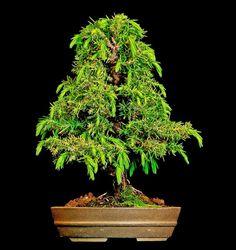 Bonsai Japanese Cedar