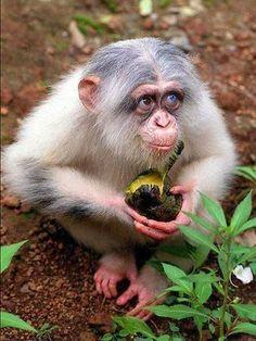 White Chimpanzee