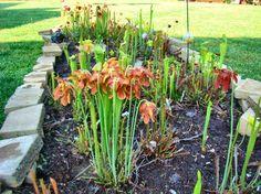 How-to create a Carnivorous Bog Garden