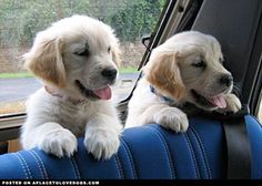 Double trouble Golden puppies