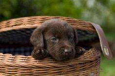 Chocolate lab