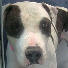 *FLOPSY-ID#A680731    Shelter staff named me FLOPSY.    I am a female, black and white Pit Bull Terrier.    The shelter staff think I am about 1 year and 7 months old.    I have been at the shelter since Oct 29, 2012.  For more information about this animal, call:  The Animal Foundation - Las Vegas at (702) 384-3333 ext: 131  Ask for information about animal ID number A680731