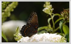 Congratulations to Manita Bentley for winning the August photo contest! Her beautiful butterfly photo won hands-down!