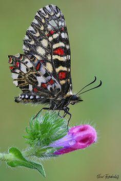 ~~Zerynthia Ruminia ~ Butterfly by Oscar Fernandez Clemente~~