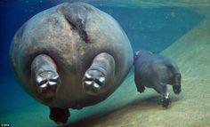 mama hippo + baby hippo