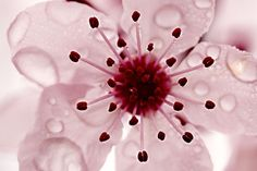 flower pictures, pink flowers, water drops, cherri blossom, beauti, flower photos, t shirts, cherries, cherry blossoms