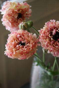 Ranunculus. a type.