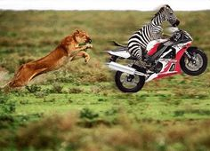 funny animals, crotch rockets, funny animal pictures, forest, zebra, blog, africa, dog, scooter