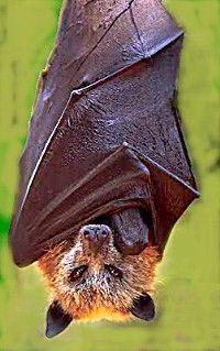 animals, fli fox, bats, seed, crown, caves, hand fans, batman, foxes