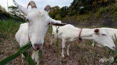 japanes condominium, grassmunch goat