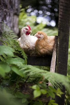 CHICKEN COOPS AND CHICKENS <3