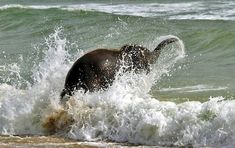 Baby Elephant Playing at the beach!
