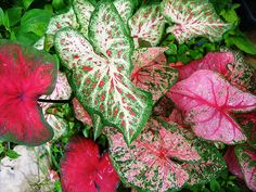 Caladium leaves brightening shade garden by pawightm (Patricia), via Flickr