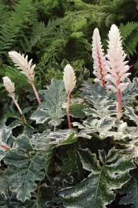 Acanthus Whitewater - Bear's Breeches