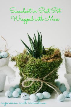 Succulent in Peat Pot Wrapped with Moss #succulent #peatpot #moss