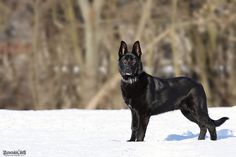 5 month old shepherd. this will be my doggie. they so handsome