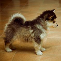 Pomskies are adorable!!! Possibly my next puppy :)