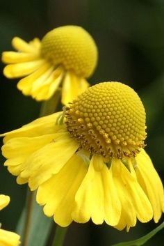 Yellow cone flowers