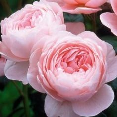 Queen of Sweden - Own Root - David Austin Roses
