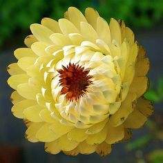 ~~ Strawflower ~~