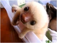 Adore the baby sloths...