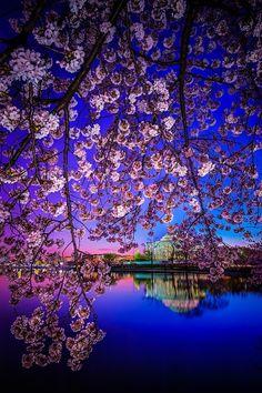 color, cherri blossom, backgrounds, art, amaz, blossom dawn, washington dc, place, cherry blossoms