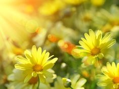 Sunshine & daises. yellow flowers, spring flowers, spring photography, sunny days, daisies, wallpapers, quot, summer sunshine, summer days