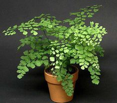 Maidenhair fern: Potted plant care