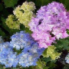 hydrangeas in long island city taken using the impressionist lens from @nybg. #impressionistlens