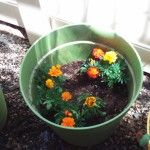 Marigolds in the container garden.