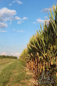 Indiana scenes! Always lots of corn
