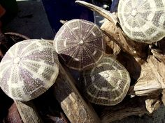 The Unique Appeal of Sea Urchins