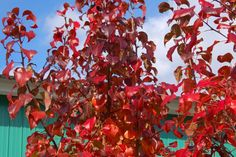 Look for alternatives to Bradford pear, which has weak branches. 'Autumn Blaze' is one possibility: http://landscaping.about.com/b/2007/12/08/bradford-pear-trees.htm