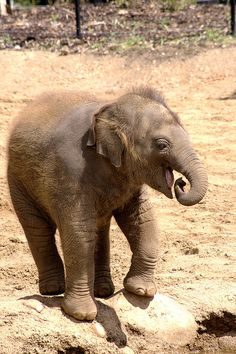 baby elephant! Help IvoryForElephants.org gain media$ When you like IvoryForElephants.org on FB and share.  Enable others to get informed! #ivoryforelephants #stoppoaching #elephants for #ivory #killthetrade #animals #babyelephants #animalbabies