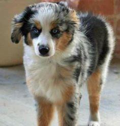 My dream puppy. Australian Shepard