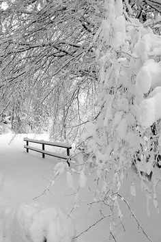 trees laden with snow, in winter.