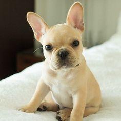french bulldog names, cute french bulldogs, french bulldog cute, bulldog puppies, small dogs