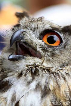 The chickenterminator by Jade Cooper. Hugo the eagle owl